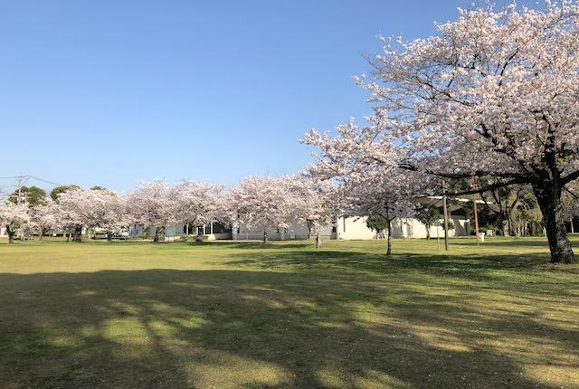 八景水谷公園桜
