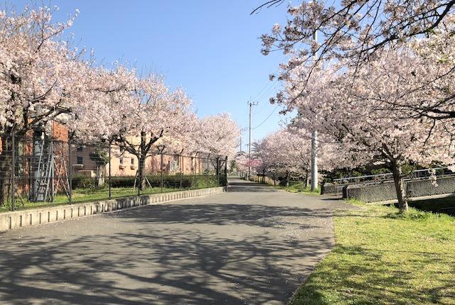 熊本市内の桜スポット