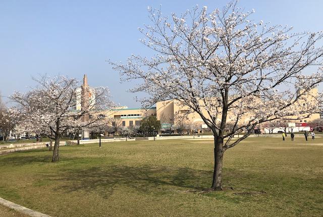 平成中央公園桜