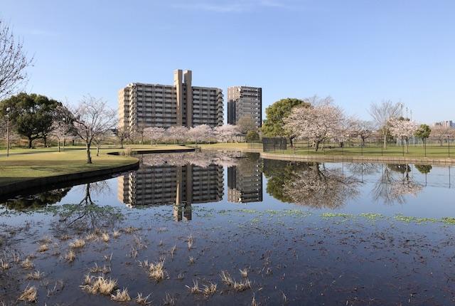 坪井川緑地公園桜