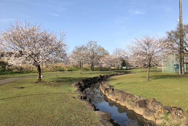 坪井川緑地桜
