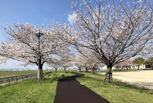笛田中央公園桜
