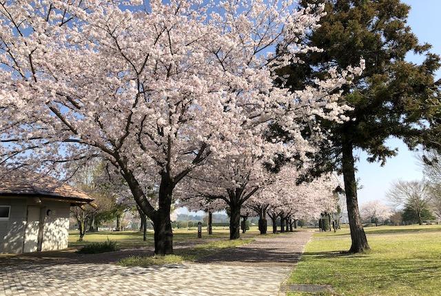 菊陽杉並木公園さんさん桜