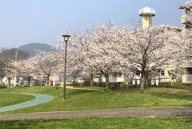 池上中央公園桜
