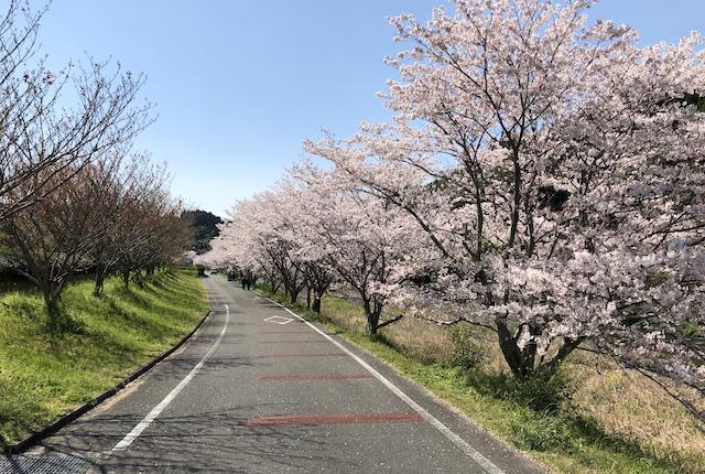 石橋公園桜