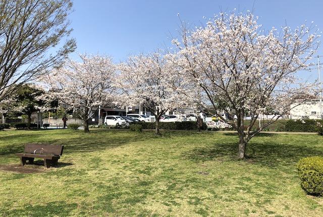山ノ内中央公園桜