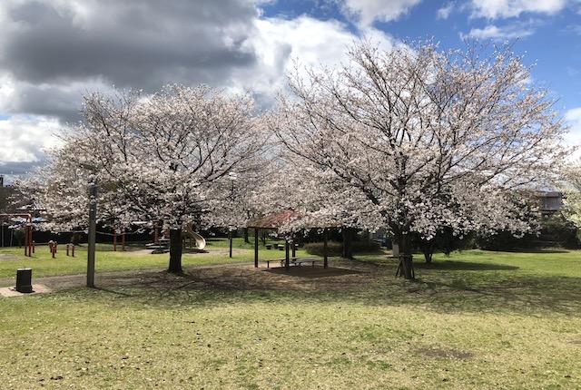 保田窪公園桜