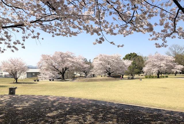 菊陽町のお花見スポット