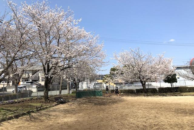健軍本町公園桜