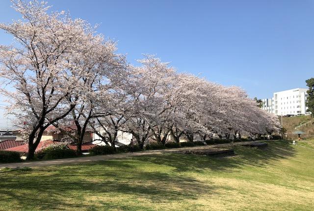 妙泉寺公園桜