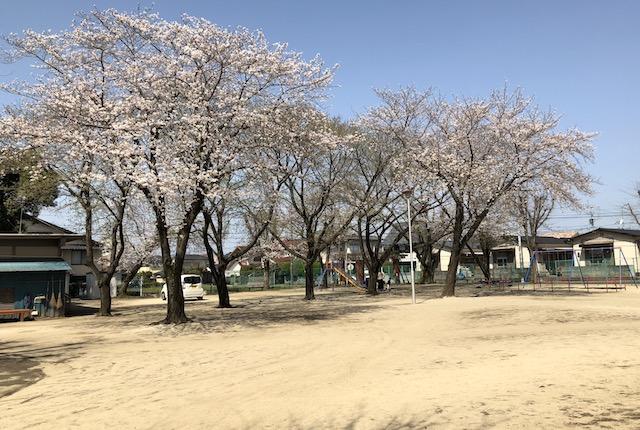 桜木公園桜
