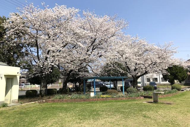 鳥井原公園桜