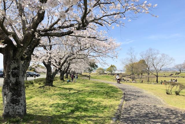 鴨川河畔公園桜