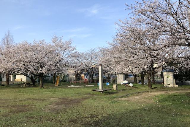 黒髪西公園桜