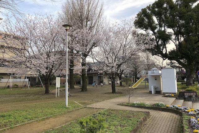 水道端公園桜