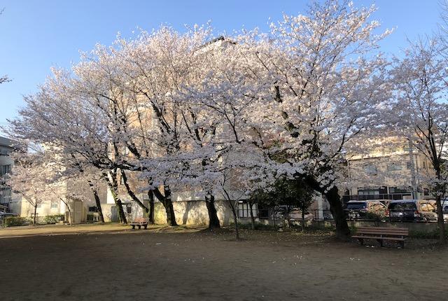 サクラ公園桜