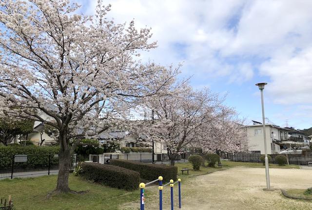 田渕下公園桜