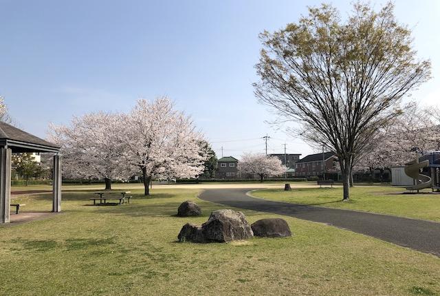 芭蕉公園桜
