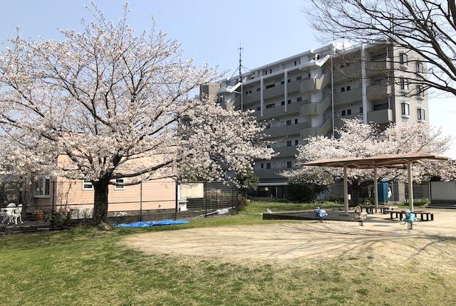 花園五丁目公園桜
