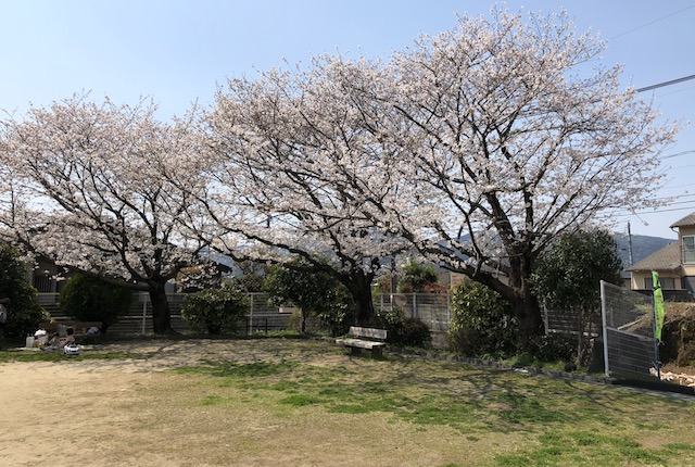 池田一丁目公園桜