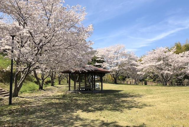 一本松公園桜