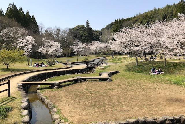 小野泉水公園桜