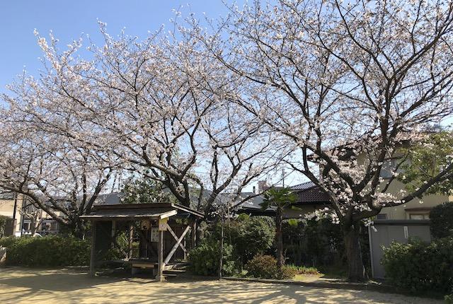 砂入公園桜