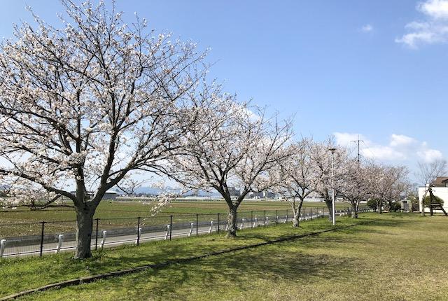 田迎良町公園桜