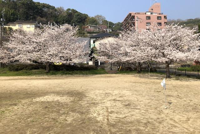 春日五丁目公園桜