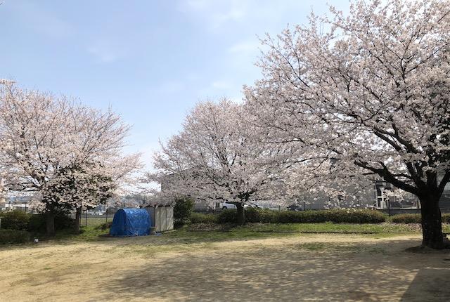 清水楡木西公園桜