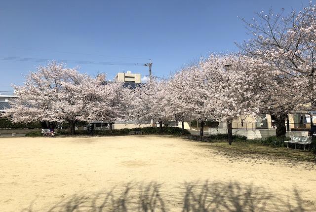 神水公園桜