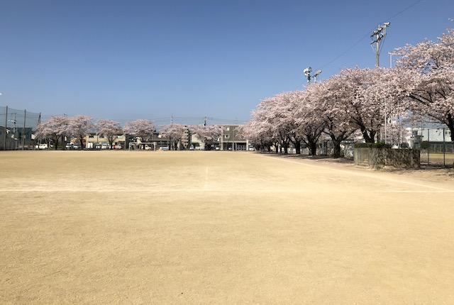 菊陽町民総合運動場桜