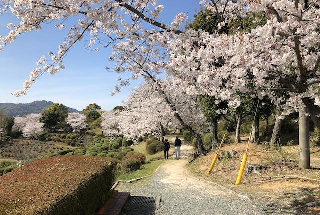 田原坂公園桜