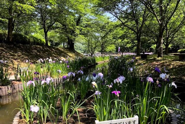 立岡自然公園菖蒲園