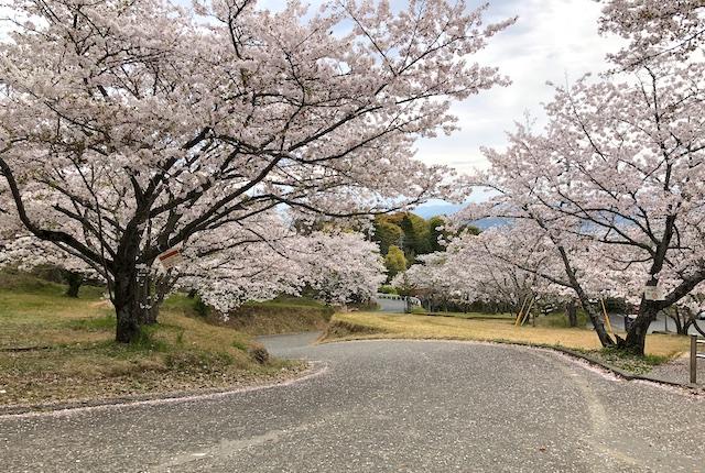 不知火グラウンド桜