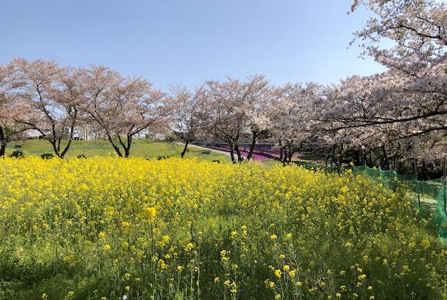 中尾山自然公園菜の花