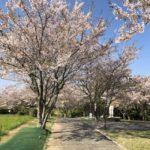 中尾山公園桜