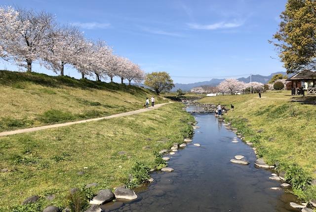 水辺プラザかもと桜