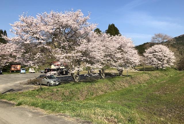 高城公園桜