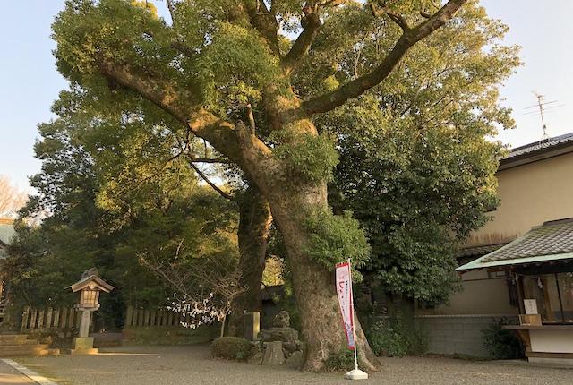 新開大神宮くすの木