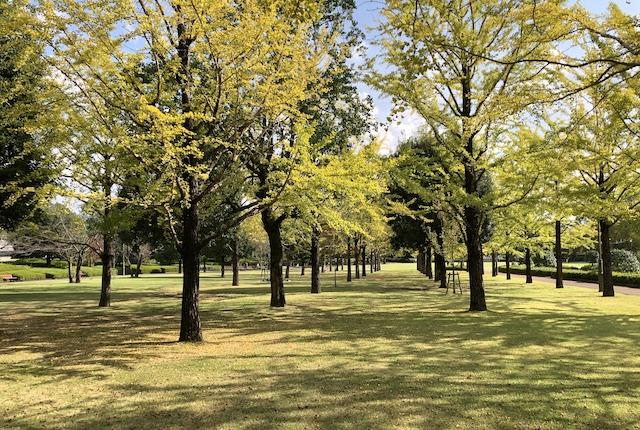 テクノ中央緑地イチョウ並木