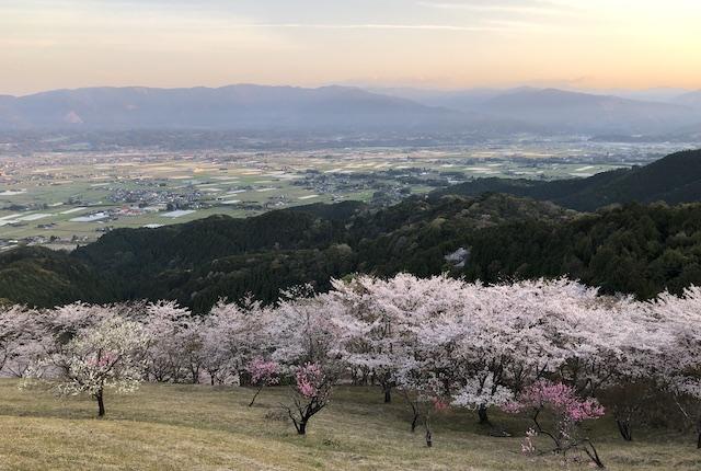 妙見野の森公園桜